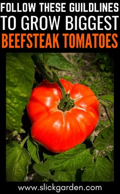 Follow These Steps To Guidelines to grow biggest beefsteak tomatoes. Grow beefsteak tomatoes in pots and containers.