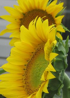 First Sunflowers of the Summer