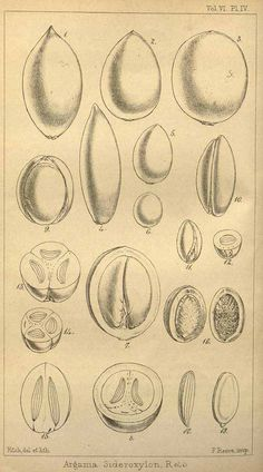 アルガン Argania spinosa (argan tree)  Hooker's journal of botany and Kew Garden miscellany  (1854)