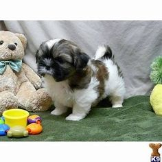 Related image result #shihtzu Baby Shih Tzu, Maltese Shih Tzu, Shih Tzu Puppy, Puppy Chow, Shih Tzus, Cute Baby Dogs, Baby Puppies, I Love Dogs, Cute Puppies