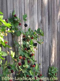 Blackberries can be beautiful on a fence or trellis  Instructions for care