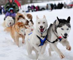 Seriously Happy Siberian Huskies  #siberianhusky #happy