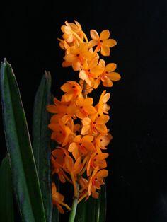 Ascocentrum miniatum  Malaisie, Thailande, Indonésie  fréquents arrosages  la luminosité suffisante est signalée par la présence de petits points rougeatres sur les feuilles