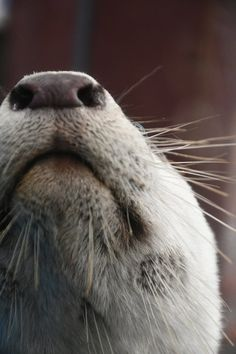 The Underside of Otter's Snoot — The Daily Otter Baby Animals, Funny Animals, Cute Animals, Otter Puns, Baby Sea Otters, Otter Love, River Otter, Lovely Creatures, Funny Animal Pictures