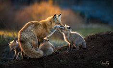 Red Foxes - null