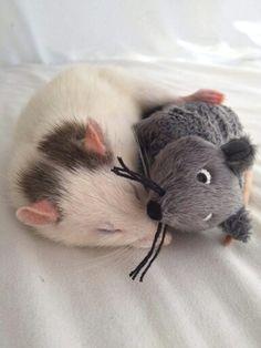 "Rat Fan Club ""Sugar"""