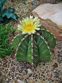 24 Ideas De Cactus Cactus Y Suculentas Plantas Suculentas Suculentas