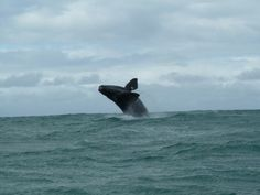 Breaching whale calf in Walker Bay, Gansbaai Whales, Cliff, South Africa, Westerns, Cape, Southern, Joy, Explore, Animals
