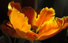 Orange. Scented parrot tulip from the Green City Farmers Market.