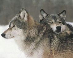 Possibly bitchy chin rest dominance display and tolerant possible equally dominant wolf Wolf Photos, Wolf Pictures, Animal Pictures, Wolf Spirit, Spirit Animal, Beautiful Creatures, Animals Beautiful, Animals And Pets, Cute Animals