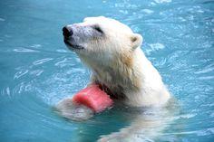 Orso polare Francia