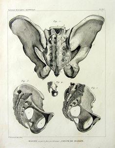 Anatomie de BONES vintage 1831 Curiuos impression de gravure du squelette du bassin antique Sacrum Coccyx Ilium Puvis, bizarrerie OS ostéologie.