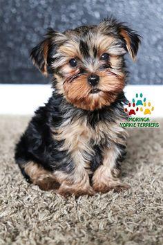 Yorkie Puppies For Adoption, Yorkie Breeders, Toy Yorkie, Biewer Yorkie, Puppies Near Me, Yorkie Puppy For Sale, Yorkie Dogs, Teacup Yorkie For Sale, Teacup Pomeranian