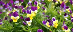 April Gardening Viola Nasturtium 'Summer Ammi Broad Turnip 'Tokyo Loseley Park Spring Garden Other articles that may interest you………… April Gardening Opportunities April is a magical time in the garden. This month offers us so… Vibrant Flower, April Gardening, Pretty Flowers, Spring Garden, Plants, Container Plants, Edible Flowers, Garden Show, Growing Vegetables