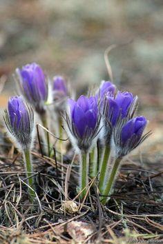 Сон-трава, Фото: Яковлев А. (национальный парк Чаваш Вармане)
