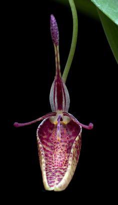 orchids beginning with v Strange Flowers, Unusual Flowers, Unusual Plants, Rare Flowers, Amazing Flowers, Cool Plants, Wild Flowers, Beautiful Flowers, Flowers Uk
