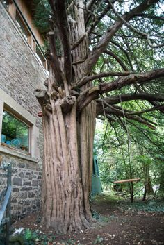 Stevenson's Yew was a swing for the famous Scottish author Robert Louis Stevenson in the Scottish Authors, Robert Louis Stevenson, Edinburgh, World, Plants, Plant, The World, Planting, Planets