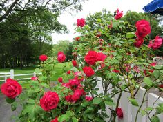 Red Roses at Blue Rock Golf Course South Yarmouth, MA
