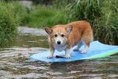 this is a corgi on a surfboard.