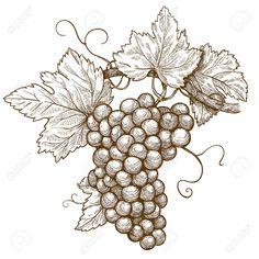 grape leaf botanical illustration - Google Search
