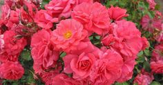 KORDES Rosen Bad Birnbach ® - Floribunda Roses - Complete assortment The most beautiful roses of the world Kordes Rosen, Floribunda Roses, Secret Garden Book, Gardening For Dummies, Beginners Gardening, Garden Images, Blooming Rose, Diy Garden Projects, Gardening Supplies