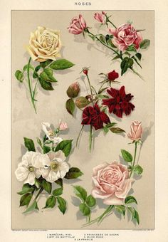 Vintage Botanical Print  Roses Garden Flowers by MyPaperedPast, $12.00