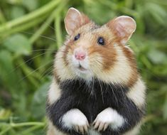 The Great Hamster Of Alsace (even The Name Is Cute)