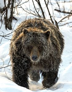 A little intimidating having a grizzly run in your direction. Photographed in Bear Cave Mountain, Yukon, Canada