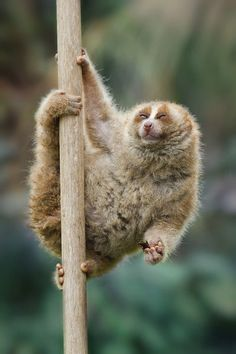 Slow Loris. Gahhh, I just want to squeeze hims.