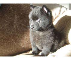 Schipperke Pup #Schipperke http://dogtrainingvideosonline.info