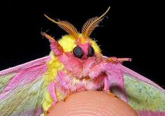 Rosy Maple Moth on a Thumb With One Leg Up as if Waving Goodbye