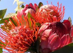 Exotic Bouquet (Flowers of South Africa) by Luigi Strano FDV Exotic Flowers, Tropical Flowers, Colorful Flowers, Beautiful Flowers, Cut Flowers, Beautiful Bride, Protea Flower, Bouquet Flowers, South African Flowers