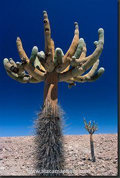 giant candelabro cactus, Atacama desert, Chile.  Photo: Gerhard Hüdepohl