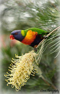 Rainbow Lorikeet by steen140, via Flickr