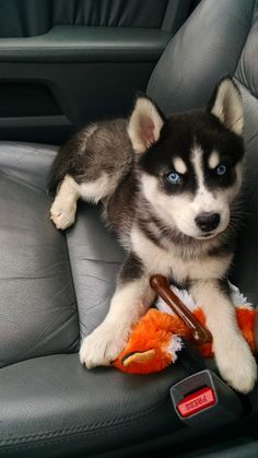 Husky | A Definitive Ranking Of The Cutest Puppies