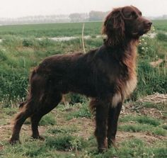 German Longhaired Pointer.