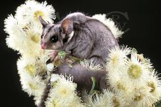 Sugar-Glider possums are tiny. Australian Flowers, Australian Animals, Australian Bush, Beautiful Birds, Animals Beautiful, My Little Baby, Painting Inspiration, Animal Photography, Pet Birds