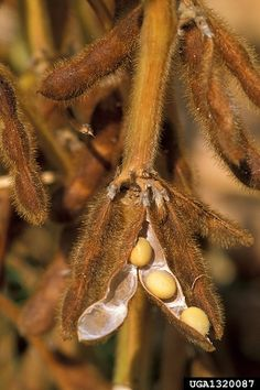 Tuesday, April 7th, 2015: Soybean, Glycine max  (Fabales: Fabaceae (Leguminosae)) - Scott Bauer, USDA Agricultural Research Service, Bugwood.org
