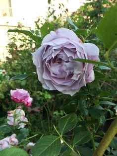 Rosier 'Novalis' www.filroses.com #Rosiers #Roses #KordesRoses #Jardin #Garden #Pepiniere #FilRoses