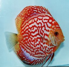 """Bold Red Universe Discus Fish 2.5"""""""