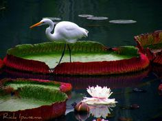 Crane and The Victoria Regia Botanical Garden of Rio de Janeiro, Brazil