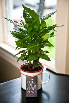How to Grow a Coffee Plant. Growing coffee at home is not so difficult, learn everything you need to know on how to grow a coffee plant in this article. Indoor Vegetable Gardening, Organic Gardening, Container Gardening, Garden Plants, Indoor Plants, Gardening Tips, Cafe Plants, Gardening Books, Hydroponic Growing