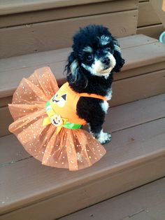Pixie is one Prissy Pumpkin  All the way from Dwight, IL! Her mommy is Katherine Kaiser and they would like to try ZYMOX products because Pixie and her 3 poodle friends have very sensitive skin!