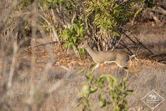 Où dormir dans le parc national Kruger ? - My Wildlife Mombasa, Lonely Planet, Kenya, Parc National Kruger, Safari, Photo Animaliere, Kangaroo, Dik Dik, Dan