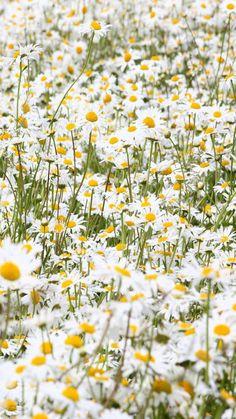 Daisy meadow by Happy Flowers, Wild Flowers, Beautiful Flowers, Spring Flowers, Daisy Field, Field Of Daisies, Sunflowers And Daisies, Daisy Love, Daisy Daisy