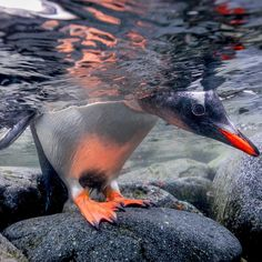 Photograph by @paulnicklen // Happy #worldoceansweek and #worldoceansday.  A Gentoo penguin cautiously peeks beneath the oceans surface before heading out to the open sea. As I reflect on my many years spent both on and in our great oceans of the world I look back with such gratitude but I also realize all of the work ahead.  When we stand on the shoreline and look out over the sea, we assume that all is well, however, when you lower your mask below the surface you see a very different…