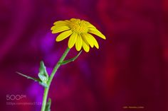 Flor gótica - Margarita