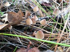 Mushrooms on the Mayacamas, yesterday 11/25/2014 www.egret.org