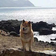 Happy Tuesday everyone! #shibainu #shiba #hawaiidogs #shibastagram #beachdog  #petstagram #dogstagram