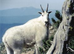A mountain goat is seen in the Elkhorn Mountains near Baker City, Oregon in 2003. (AP Photo/Oregon Dept. Fish and Wildlife via the Baker City Herald)